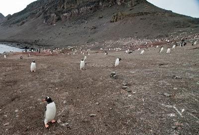 Gentoo_Penguins_Elephant_Island_27