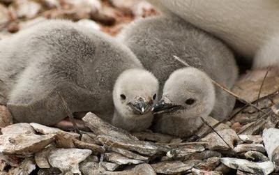 Gentoo_Penguins_Elephant_Island_22
