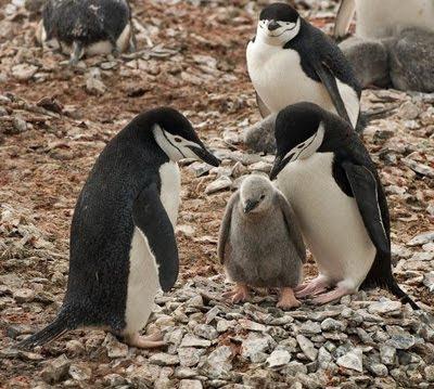 Gentoo_Penguins_Elephant_Island_13