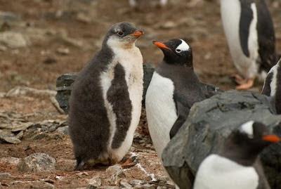 Gentoo_Penguins_Elephant_Island_2