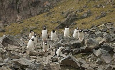 Gentoo_Penguins_Elephant_Island_1