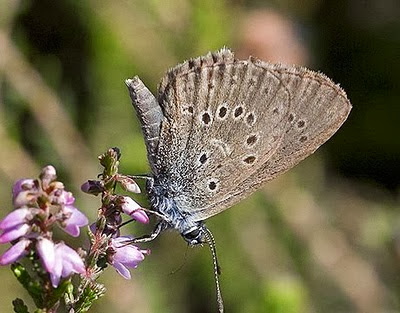 Dutch_Alcon_Blue_Butterfly