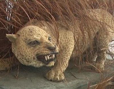 Zanzibar_Leopard