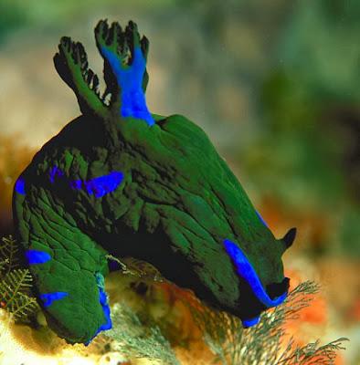 Nudibranch_Amazing_Sea_Slugs_10