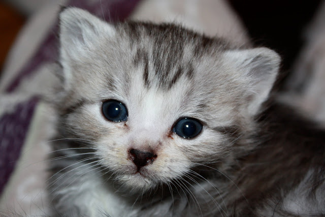 A 2 week old kitten with blue eyes and grey and white striped fur looks at the camera with wide eyes.  She has a little white blaze coming up from her nose and a grey M shaped on her forehead.  Her ears and eyes seem to make up most of her face.