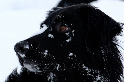 Hugo shows up very black against a background of bright snow.  Flakes rest on his face, so white against the darkness of his fur.  His amber colored eyes shine brightly as he looks into the distance