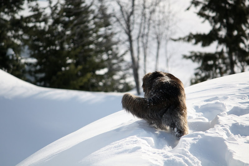 The sun glints off Marleys back as he slow walks down the snowy path with his tail swishing gently side to side