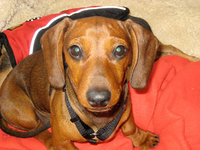 sophie a red dachshund puppy looks straight at the camera with big eyes