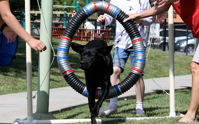 Millie a black lab jumps through a agility tire jump with her ears flying up.