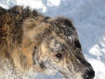 marley a brindle longhair dog looks up at the camera with snow on his nose while standing in a field of snow
