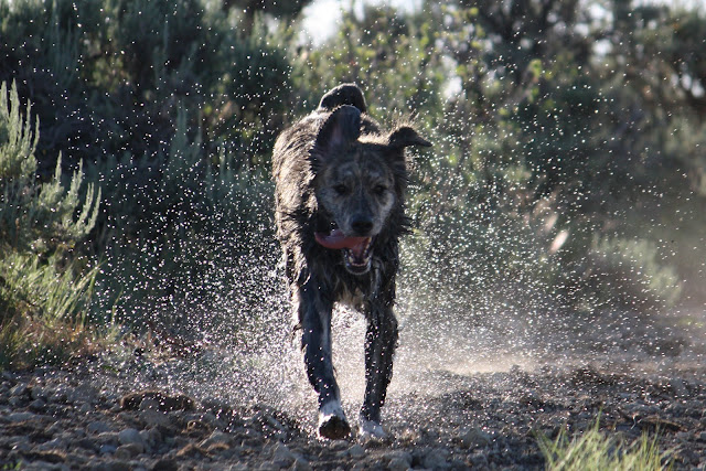 A wet Marley runs down a path bordered by sagebrush with a spray of sunlit water droplets surrounding him.