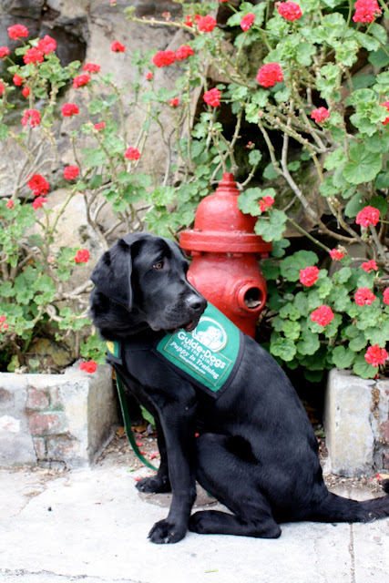 Rafferty sits with his head curved looking back over his shoulder.  He is in front of an old stone wall covered in green vines with pink flowers. There is a red fire hydrant in the background.