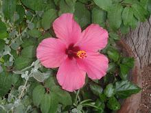 Havaii rose , med nydelig farge !