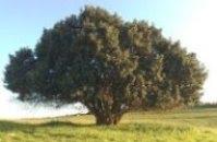 شجرة الخرّوب