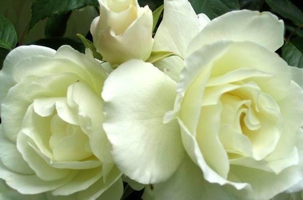 Imagenes de rosas blancas con movimiento imagui - Significado rosas blancas ...