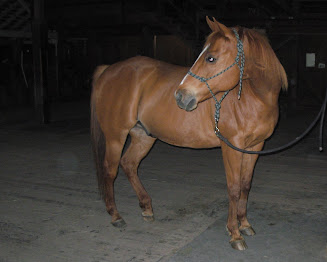 Red Tee Bar - 19 y.o. Quarter Horse