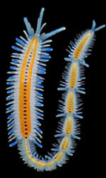 Annelida: Examples of Annelids