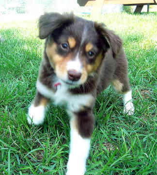 Dog Breed Gallery: Australian Shepherd Dog Breeds