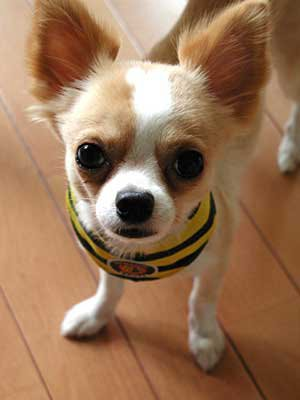 cutee 3 httpminicravings comwp-co cute chihuahua