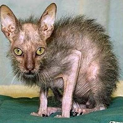worlds most ugliest cats