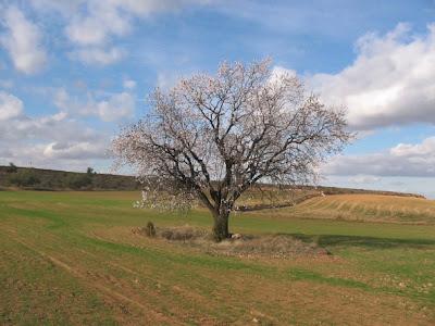 Almendrera en un campo de Aragón
