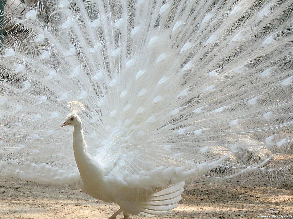 http://1.bp.blogspot.com/_96XVIwBWXCM/TFDmWKy6rUI/AAAAAAAACSE/QXeYU6q9V8E/s1600/peacock_1.jpg