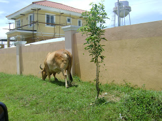 cows homes muntinlupa