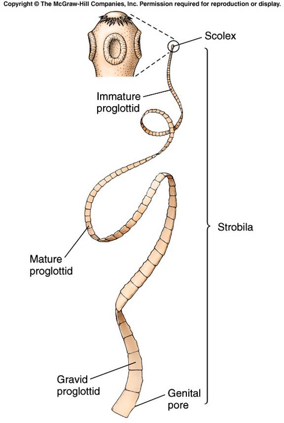 struktur tubuh turbellaria