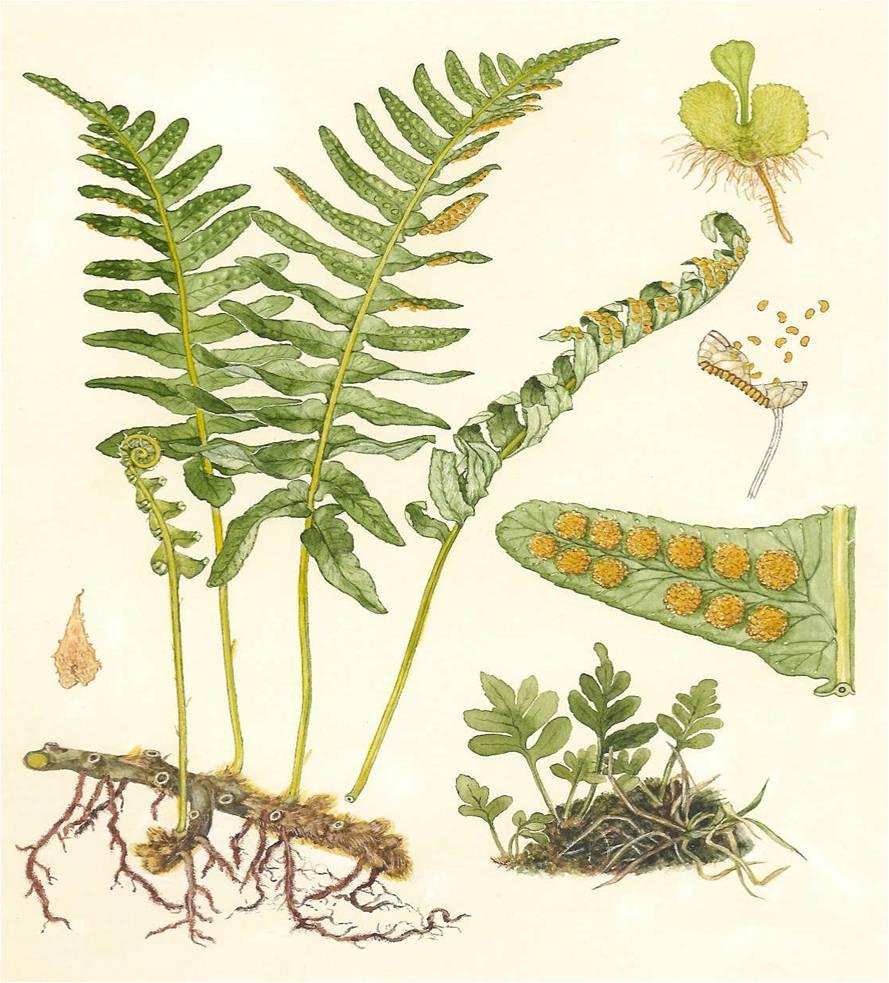 Merupakan kormophyta berspora Kormus: memiliki akar/ batang dan daun
