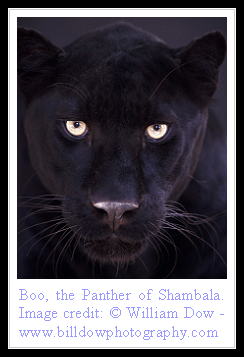Cat Facts Black Panther