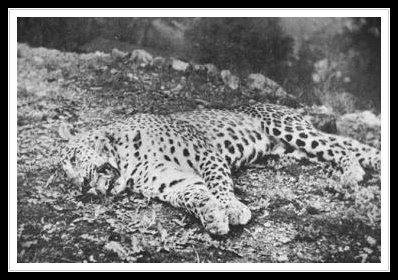 Panar Leopard