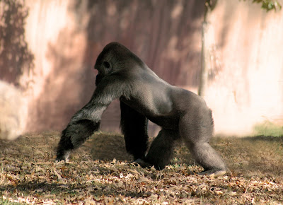 Gorilla+9.jpg