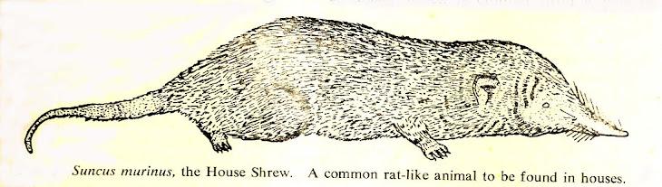 """Cecurut (""""Shrew"""") bukan Tikus"""