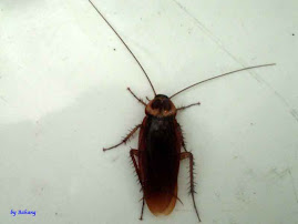 Periplaneta americana, American Cockroach