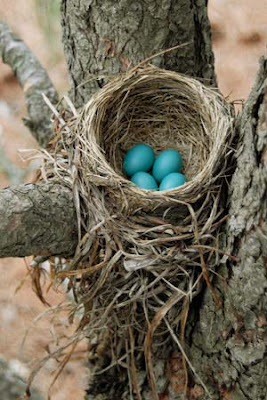 real robins eggs in robin nest
