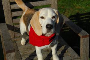 Glady the Beagle