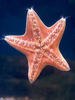 Morska zvijezda download besplatne pozadine slike za mobitele