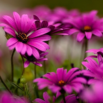 Purple Daisies flowers download free wallpapers for Apple iPad