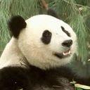 Panda se smije download besplatne slike pozadine za mobitele