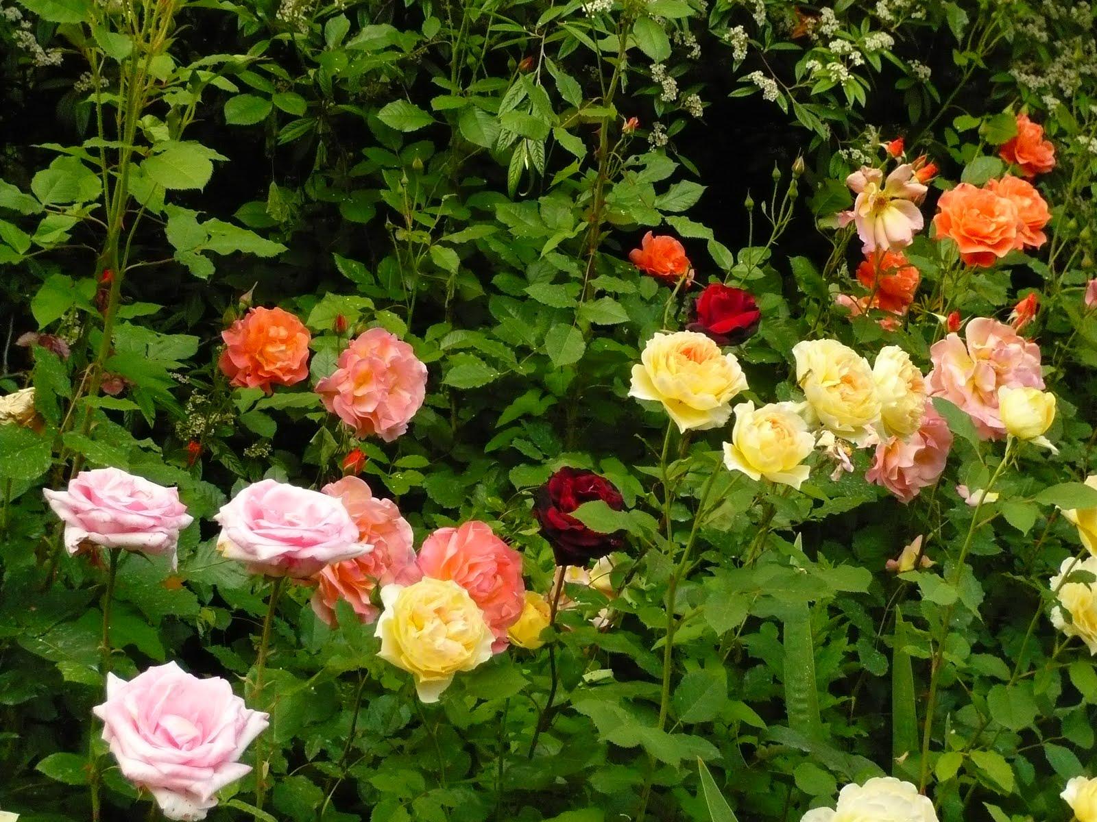 jardines de rosas imagui