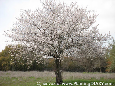 tree in blooms, blooms, white flowers, fruit tree, fruits trees