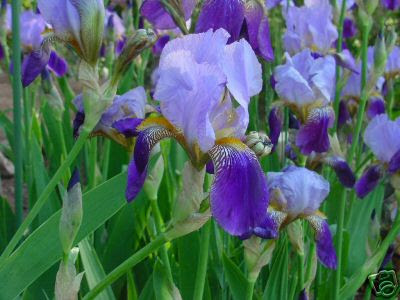 Gardeners Land Bearded Iris