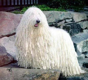 Komondor Dog Wallpaper