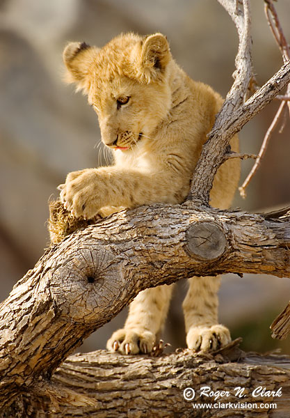Cheetah cubs, Lion cubs Pictures