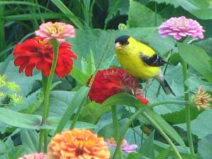 a goldfinch seeks a snack of zinnia seeds