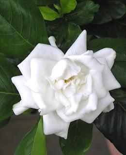http://1.bp.blogspot.com/_9I4cHvCyFS8/S_syy094dZI/AAAAAAAAAGU/8JyWBERzk9k/s320/Gardenia_jasminoides_Vetchii_Everblooming_Gardenia.jpg