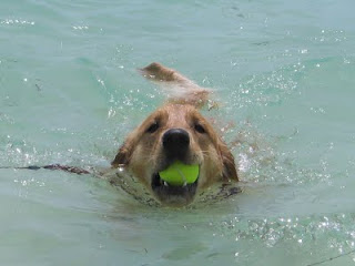 Scout retrieving a tennis ball from the water at Isla Mujeres