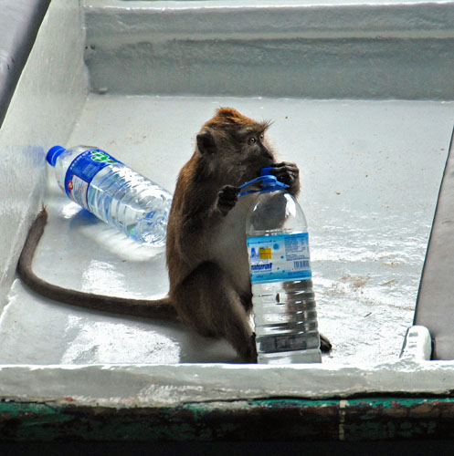 Do Monkeys Drink Coconut Water