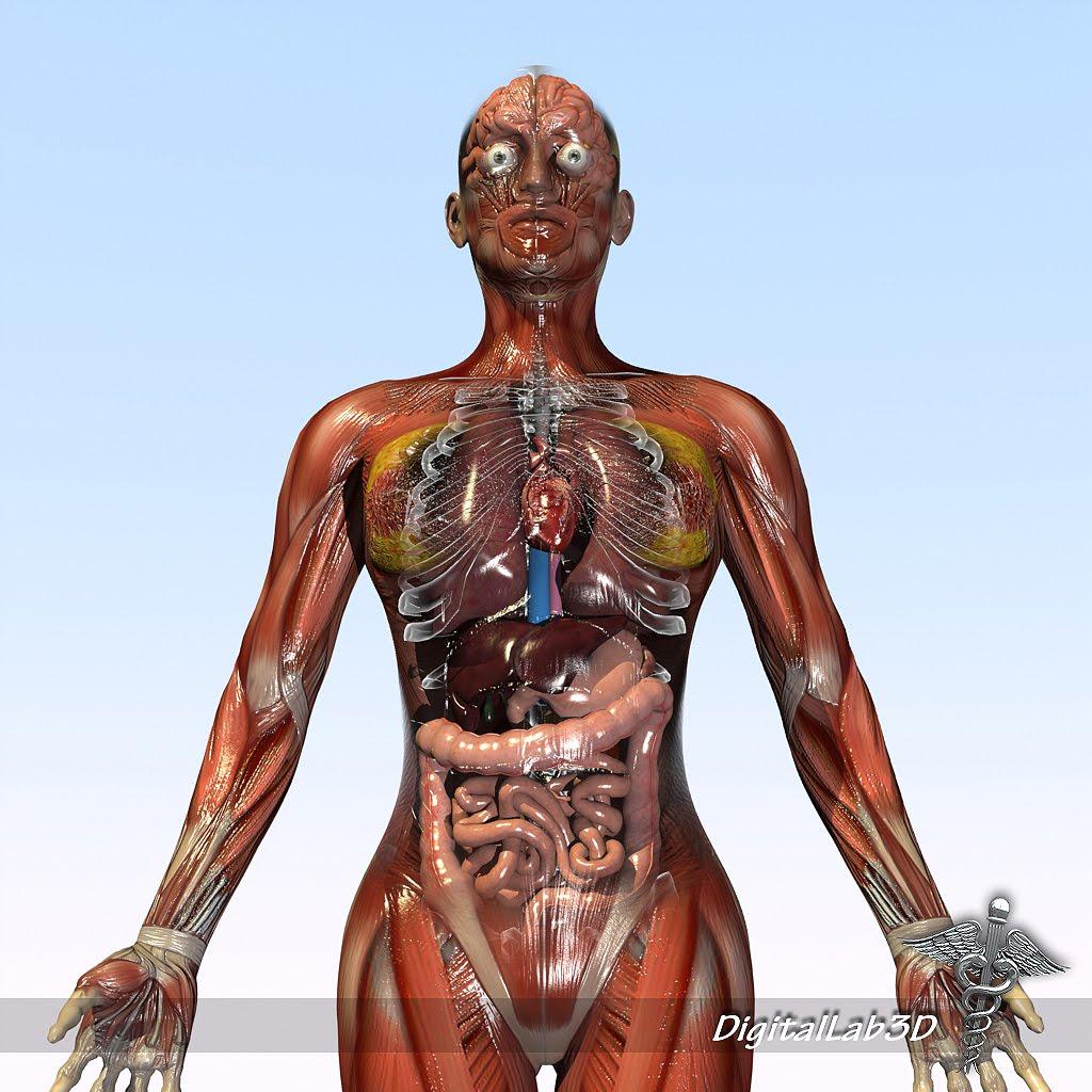 Male and Female Human Anatomy