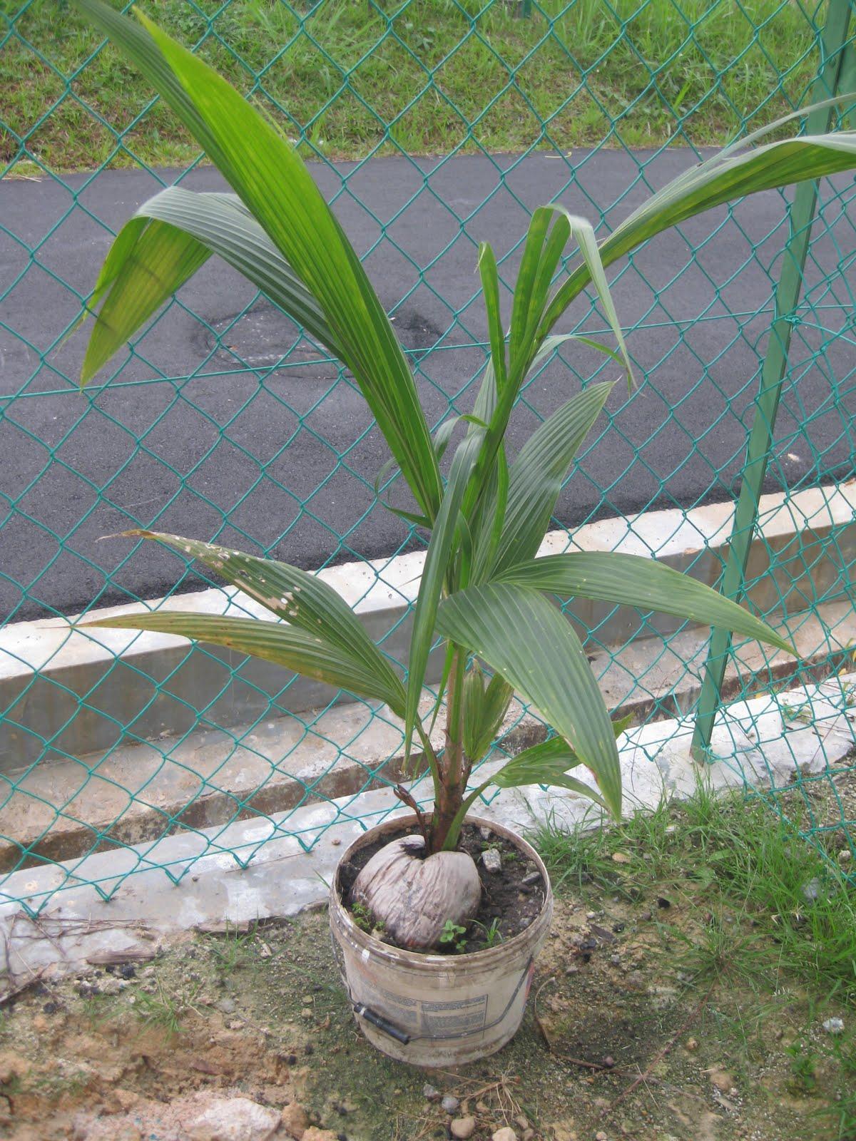 Pokok no 1 di backyard: Kelapa Pandan
